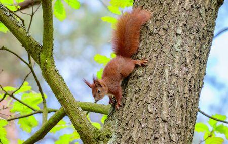 Mischievous squirrel in the park Imagens