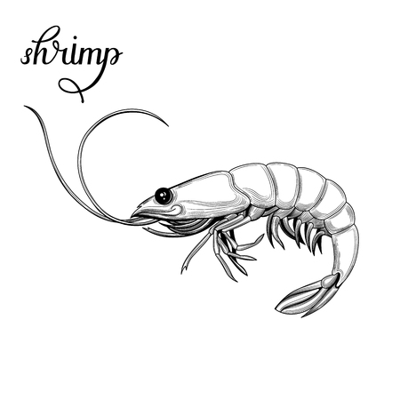 Shrimp. Seafood. Vector illustration. Isolated image on white background. Vintage style. Vettoriali