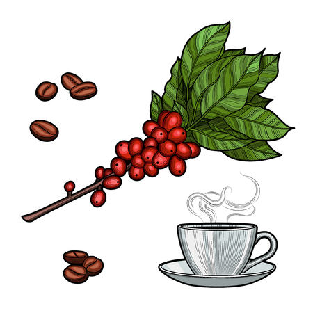 Coffee branch. Plant with leaves, berries. Natural caffeine drink. Cinnamon sticks, anise. Illustration. Isolated on white background.