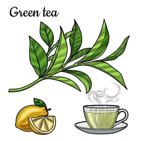 Green tea. A Cup of tea, a hot drink. A branch with leaves. Lemon, lemon slice. Illustration. The isolated image on a white background. Vintage style.