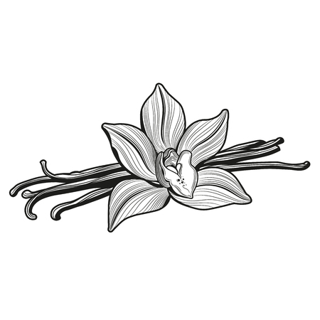 Vanilla flower and vanilla pods and vanilla flower. Vector illustration. The isolated image on a white background. Vintage style. 向量圖像