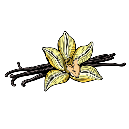 Vanilla flower and vanilla pods and vanilla flower. Vector illustration. The isolated image on a white background. Vintage style.