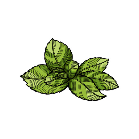 Spice. Fresh mint leaf. Vector illustration. The isolated image on a white background. Vintage style.