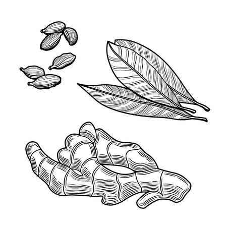 Spices. Ginger, bay leaf, cardamom. Isolated on white background. Vector black vintage engraving illustration.
