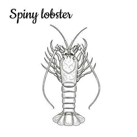 Spiny lobster. Crustaceans. Seafood. Vector illustration. Isolated image on white background. Vintage style. 向量圖像