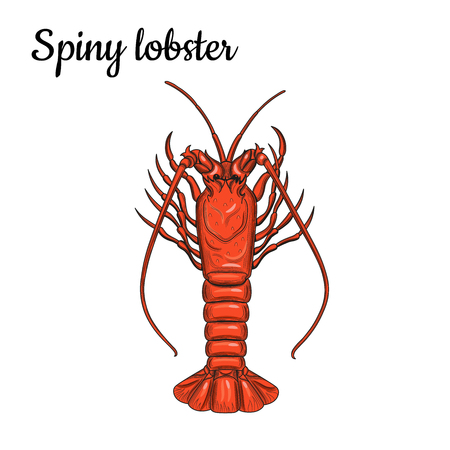 Spiny lobster. Crustaceans. Seafood. Vector illustration. Isolated image on white background. Vintage style. Illustration