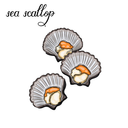 Sea scallop. Seafood. Vector illustration. Isolated image on white background. Vintage style.