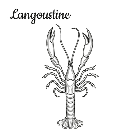 Langoustine. Crustaceans. Seafood. Vector illustration. Isolated image on white background. Vintage style. 矢量图像