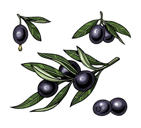 Olives on branch with leaves. Illustration for logotype, poster, web. Vintage style. Isolated on white background. Ilustração
