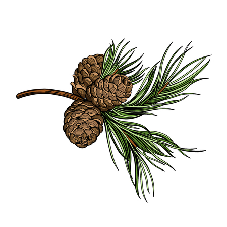 Branch. Cedar. Christmas vector illustration. The isolated image on a white background. Vintage style.