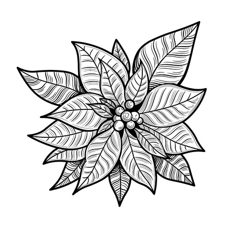 The poinsettia red flowers, The Flower of the Christmas, close up. Vector illustration. The isolated image on a white background. Çizim