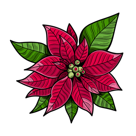 The poinsettia red flowers, The Flower of the Christmas, close up. Vector illustration. The isolated image on a white background. Archivio Fotografico - 116021564