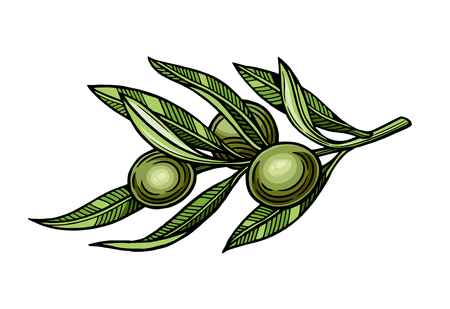 Olives on a branch with leaves. Vector illustration. Vintage style. Templates for design shops, restaurants, markets. Stock Vector - 116021572