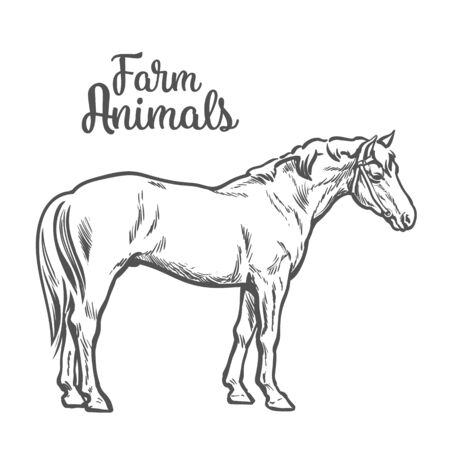 brown horse: brown horse, vector illustration sketch of a hand-drawn with a single animal, the only brown horse, pet and animal farm young stallion, a horse farm, Chestnut horse isolated Illustration