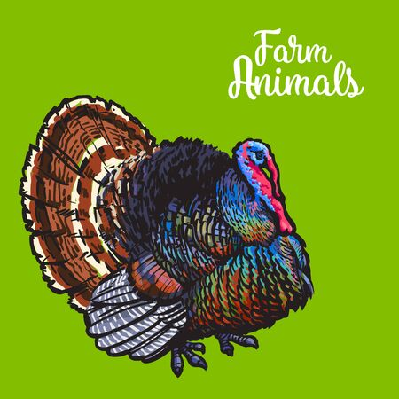 home products: One color colored feathered turkey, sketch style hand-drawn, vector farm animal home winged bird feathered turkey with white tail, one background, realistic animal products for sale Illustration