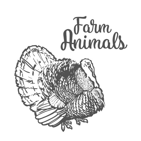 one animal: One feathered turkey bird, sketch style hand-drawn, vector farm animal home winged bird feathered turkey with white tail, one on a white background, realistic sketch turkey products for food