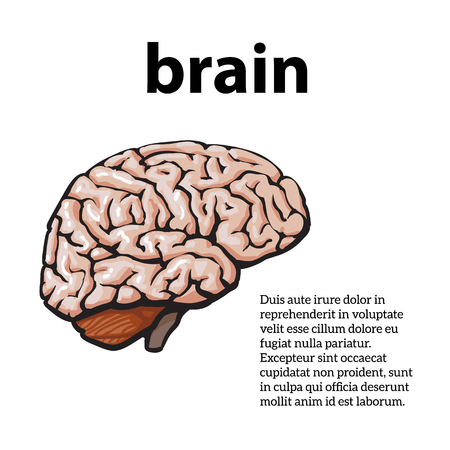 body image: Human brain, vector illustration sketch of a brain isolated on a white background, color close-up of a human brain, anatomy human body Image