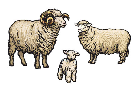 herd: White sheep isolated, sketch illustration drawn by hand, isolated on a white background, a man woman and child a sheep, a flock of sheep, cloven-hoofed livestock Illustration