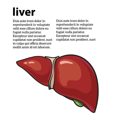 cirrhosis: Healthy human liver, illustration sketch drawn by hand, isolated on a white background, human liver of a healthy person, the anatomy of the internal organs,