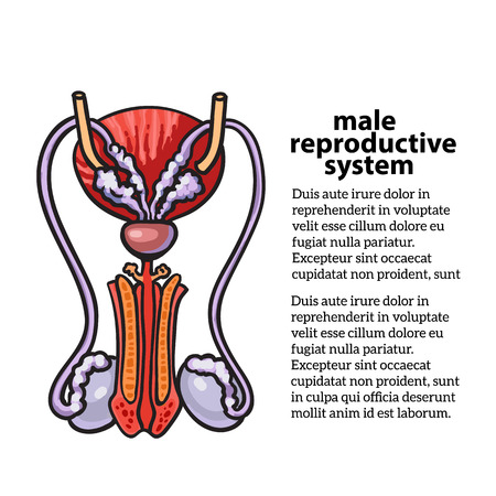 apparato riproduttore: sistema riproduttivo maschile, disegno vettoriale illustrazione disegnati a mano isolato su sfondo bianco, isolato immagine dettagliata a colori del sistema riproduttivo maschile, la salute maschile