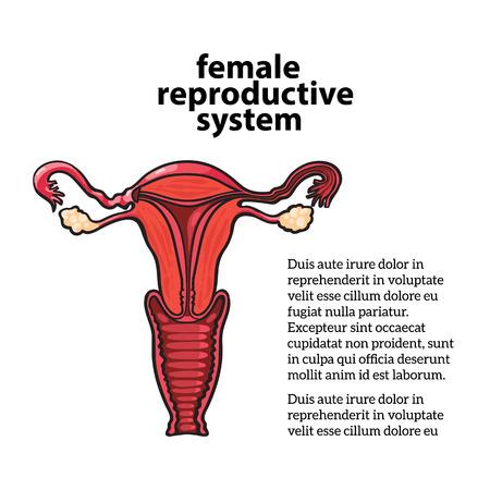 sistema reproductor femenino: sistema reproductivo femenino, dibujo vectorial ilustración de mano aislado sobre fondo blanco, estructura vnutrinney uterino y la vagina a los ovarios, la anatomía de la vagina de una mujer s