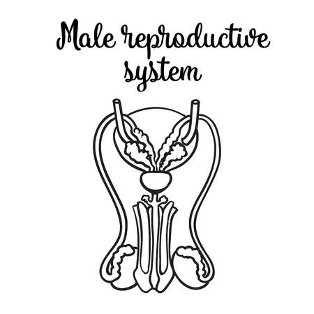 suspensory: Male reproductive system, vector sketch hand-drawn illustration isolated on white background, isolated detailed color image of the male reproductive system, male health