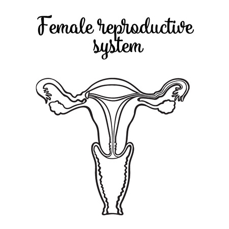 female reproductive system, vector circuit sketch hand-drawn illustration isolated on white background, vnutrinney uterine structure and vagina to the ovaries, the anatomy of a womans vagina