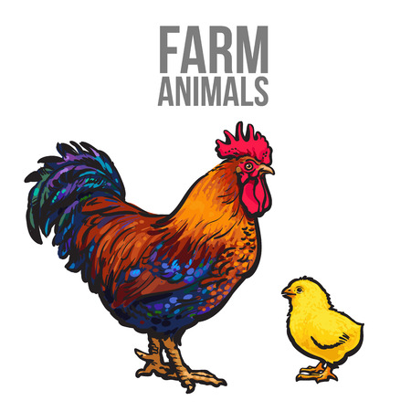 aviculture: rooster and chicken poultry farm, vector illustration sketch isolated on white background hand-drawn set farm rooster and birds yellow chick, chicken family dad and baby, farm bird
