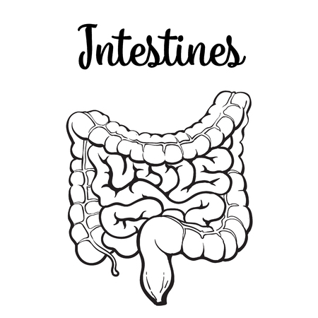 structure of the human colon, vector sketch hand-drawn illustration isolated on a white background, human internal organs, colon, intestinal digestion external view Illustration