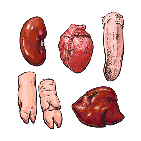 Pork offal, sketch narisovany by hand, isolated set of pig organs, animal by-products on a white background, Sven fresh meat subrodukty ungulate, realistic illustration