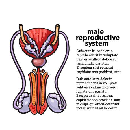 sistema reproductivo masculino, la ilustración boceto dibujado a mano aislado sobre fondo blanco, aislado de imagen de color detallada del sistema reproductor masculino, la salud masculina Foto de archivo