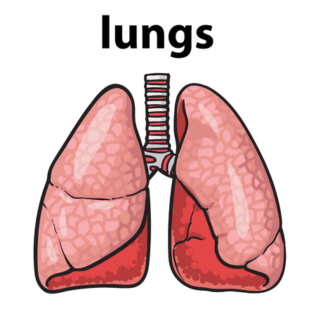 clean lungs: Sketch the lungs, sketch hand-drawn illustration isolated on white background, realistic sketch human red beautiful healthy lungs, the lungs of a healthy person clean