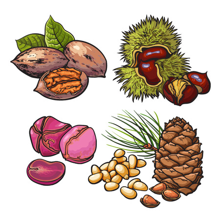 Collection of walnuts, chestnuts, pine nuts and peanuts vector illustration isolated on white background. Set of fresh and ripe seasonal cedar nut walnut chestnut and peanut