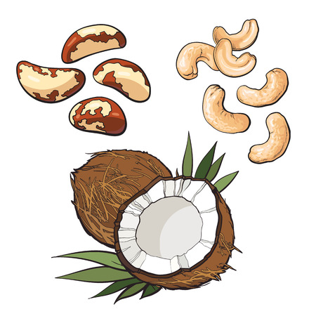 brazil nut: Collection of cashew, coconut and brazil nuts vector illustration isolated on white background. Set of fresh and ripe seasonal Brazil nut, cashew and coconut, whole and open