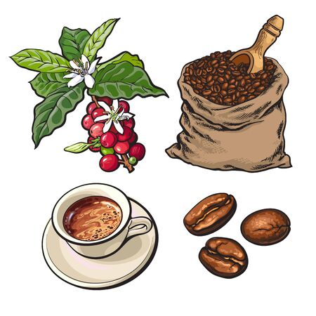 coffee sack: Evolution of coffee from berries to beans and espresso, sketch style illustration isolated on white background. Coffee on branch, in sack and ready for drinking