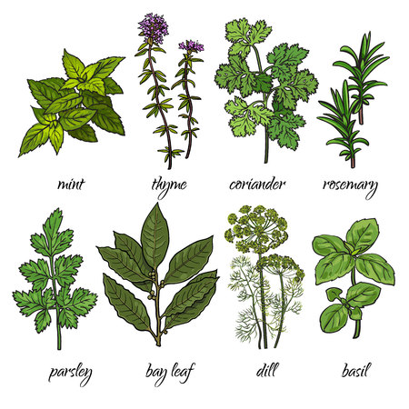 cilantro: Set of cooking herbs - rosemary, mint, thyme, coriander, parsley, dill, bay leaf and basil. Isolated sketch style illustration on white background. Traditional herbs for cooking delicious food