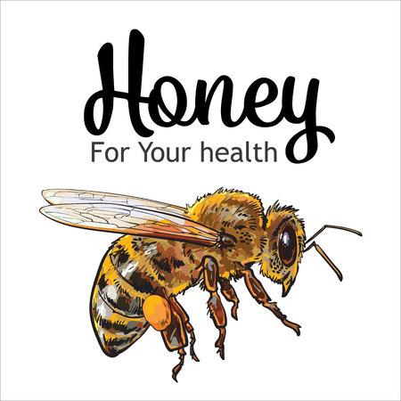 飛行ミツバチ、スケッチ スタイル ベクトル イラスト白背景に分離されました。ミツバチの巣箱、養蜂場アイコンに飛んで熊蜂のリアルな描画