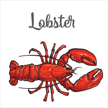 Full length lobster sketch style vector illustration isolated on white background. Drawing of lobster as luxury seafood delicacy. Edible underwater creature, healthy organic seafood
