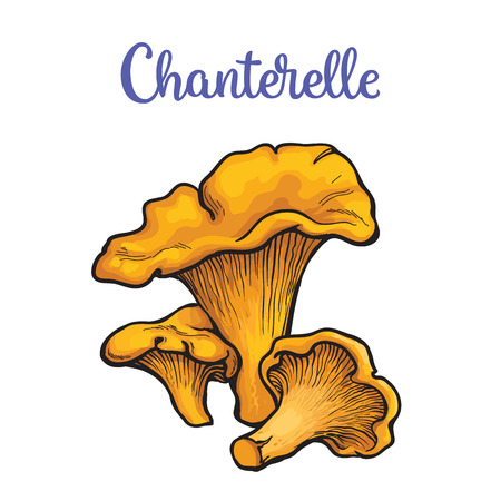 button mushroom: Set of chanterelle edible mushrooms sketch style vector illustration isolated on white background. Collection of edible mushrooms chanterelle