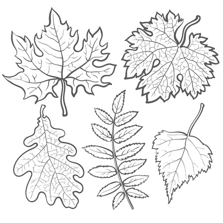 chokeberry: Set of autumn leaves, sketch style vector illustration isolated on white background. Red, yellow and orange maple, aspen, oak and rowan leaves in the fall season. Illustration