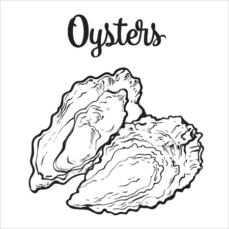 shellfish: Fresh oyster, sketch style vector illustration isolated on white background. Drawing of oysters as luxury seafood delicacy. Edible underwater creature, healthy organic seafood or shellfish food