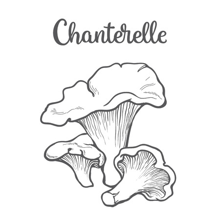 edible: Set of chanterelle edible mushrooms sketch style vector illustration isolated on white background. Collection of edible mushrooms chanterelle