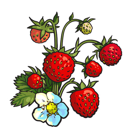 'wild strawberry: Bunch of wild strawberry, realistic drawing vector illustration isolated on white background. Ripe and green wild strawberry with blossom and leaves, botanical illustration, design element Illustration