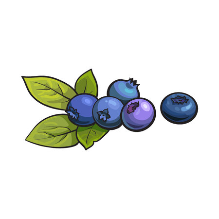 Ripe blueberry, realistic drawing vector illustration isolated on white background. Ripe blueberries and green leaves on white background, botanical illustration, design element Stock Illustratie