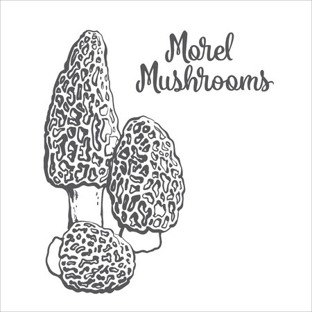 morel: Set of morel edible mushrooms sketch style vector illustration isolated on white background. Collection of edible mushrooms morel Illustration