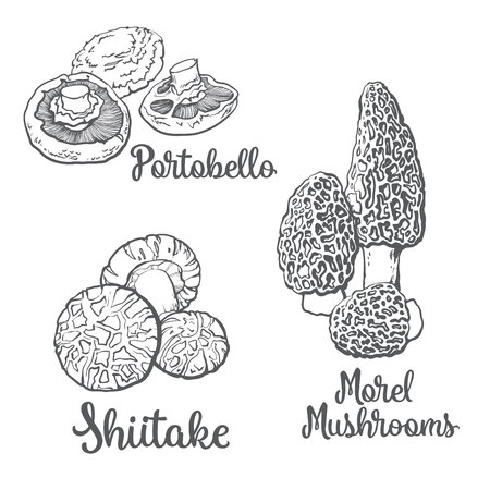 morel: Set of portobello, morel and shiitake edible mushrooms sketch style vector illustration isolated on white background. Collection of edible mushrooms - shiitake, morel and portobello