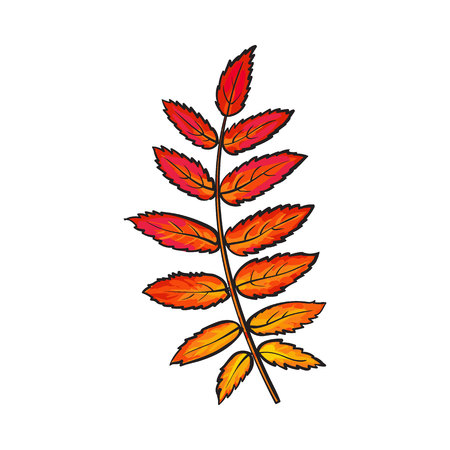 serrate: Beautiful yellow red colored autumn rowan leave, vector illustration isolated on white background. Botanical drawing of a yellow red rowan leaf, fall season, autumn decoration element