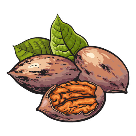 hard crust: Whole and half shelled walnuts with green leaves, vector illustration isolated on white background. Drawing of walnuts, whole and half open, delicious healthy vegan snack