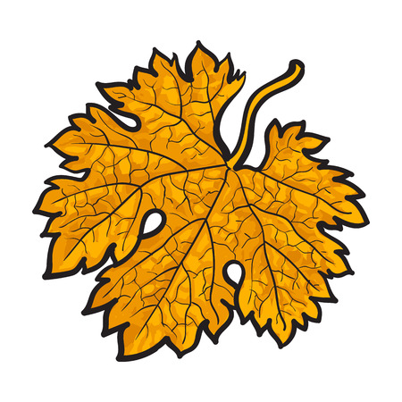 Beautiful yellow colored autumn maple leave, vector illustration isolated on white background. Botanical drawing of a yellow maple leaf, fall season, autumn decoration element Illustration