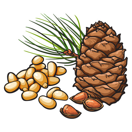 Peeled and whole pine nuts and cone, vector illustration isolated on white background. Drawing of pine cone, nuts and needles, delicious healthy vegan snack